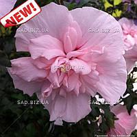 Гибискус сирийский 'Pink Chiffon' ® в 7-литровом контейнере