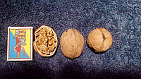 Саженцы грецкого ореха Колгоспний