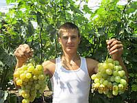 Саженцы винограда Спонсор (корнесобственные)