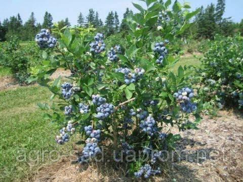 Голубика блюкроп – описание, отзывы, фото, размножение