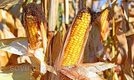Гран 6 гибрид кукурузы ВНИС