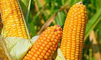 ВН 6763 гибрид кукурузы ВНИС