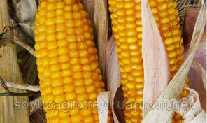 Амарок гибрид кукурузы ВНИС