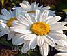 Ромашка крупноцветковая белая