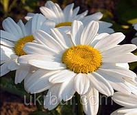 Ромашка крупноцветковая белая, фото 1