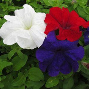 Петуния Браво F1 (смесь) ранняя однородна во времени цветение устойчива к погоде универсальна (20 сем в пачке)