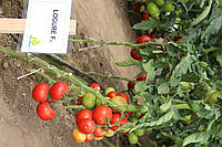 Томат Логур F1 100 семян, фото 1