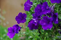 Петуния Фиолетовая Алдерман F1 многоцветковая с компактным кустом для оформления клумб, бардюр (0,2г в пачке)