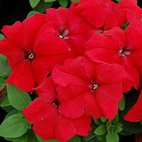 Петуния красная Мамбо F1 многоцветковый карликовый гибрид не требующий химических регуляторов (20 сем.)