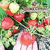 """Рассада клубники """"Дарселект"""", класс А (среднеранняя)"""