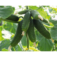 Семена огурца Амант F1 (Бейо / Bejo) 1000 семян - партенокарпик, ультра-ранний гибрид (40-45 дней