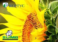 Семена простого гибрида подсолнечника НС-Х-498 от компании Нертус