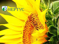 Семена простого гибрида подсолнечника МОРАВА от компании Нертус
