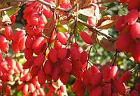 Барбарис обыкновенный - семена 30 шт