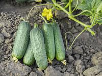 Семена огурца Проликс F1 (Nunhems) 1 000 семян - партенокарпик, средне-ранний гибрид