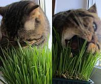 Зелень для кошек 10г