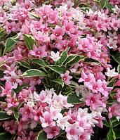 Вейгела цветущая 'Вариегата'(Variegata) 20-25 см, р9, 1-2-летки, фото 1