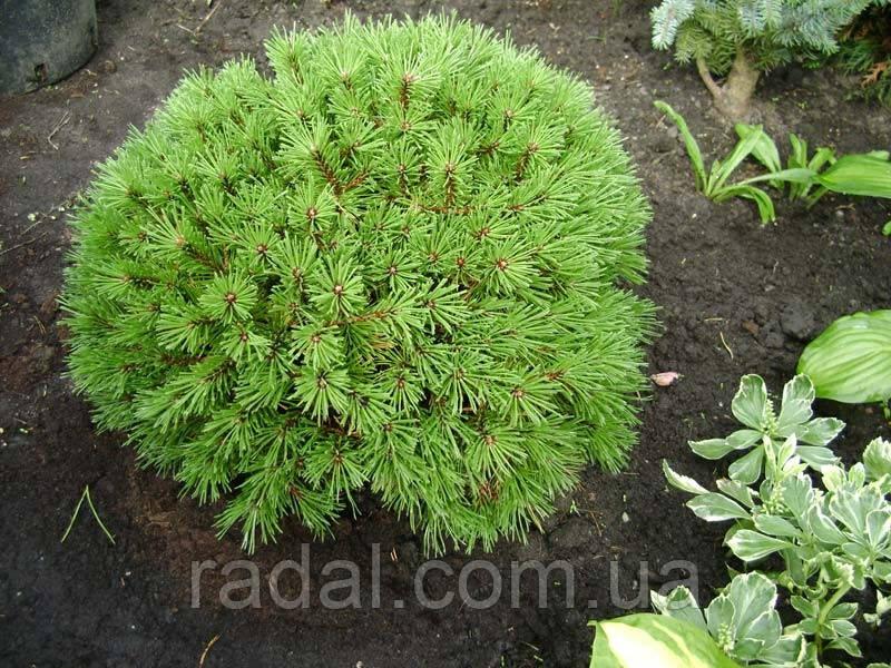 Сосна горная Бенджамин (Pinus mugo Benjamin)