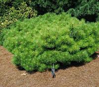 Сосна густоцветковая  (Pinus densiflora Jane Kluis )