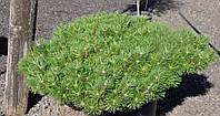 Сосна густоцветковая Жан Клаус С5 (Pinus densiflora Jane Kluis ), фото 1