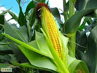 Семена кукурузы Билозирский 295 СВ ФАО 280