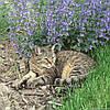Котовник кошачий в 2-литровом конт.