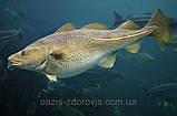 Рыбий жир – эликсир молодости, природное средство регулирования метаболических процессов., фото 4