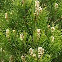 Сосна белокорая Компакт Джем С2 ( Pinus leucodermis Compact Gem ), фото 1