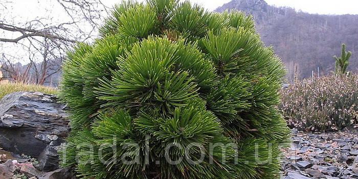 Сосна белокорая Шмидти (pinus leucodermis smidtii)