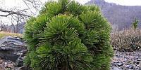 Сосна белокорая Шмидти (pinus leucodermis smidtii), фото 1