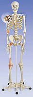 Модель скелета человека 'Лео' с суставными связками