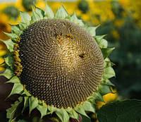 "Семена подсолнуха ""Українське сонечко"""