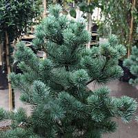 Сосна мелкоцветная Негиши ( Pinus parviflora Negishi ), фото 1