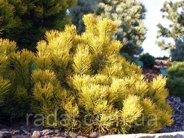 Сосна горная картенс Винтер Голд С5 (Pinus mugo Carstens Wintergold )