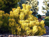 Сосна горная картенс Винтер Голд С5 (Pinus mugo Carstens Wintergold ), фото 1