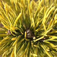 Сосна горная картенс Винтер Голд (Pinus mugo Carstens Wintergold )