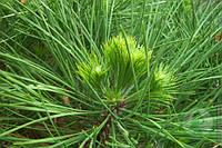 Сосна черная Спилберг ( PINUS NIGRA SPIELBERG )