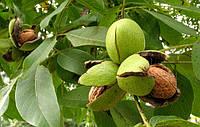 Закарпатский лесхоз будет зарабатывать на орехах