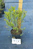Лапчатка - Potentilla fruticosa Goldfinger (высота 30см, горшок 5л)