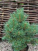 Сосна обыкновенная - Pinus sylvestris Frensham (высота 25-30см, горшок 5л)