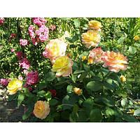 Роза - Rosa in sorte (куст) (высота 30-40см, горшок 5л)