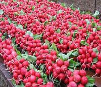 Редис Сора ранняя с превосходным вкусом, весовые семена для выгонки корнеплодов