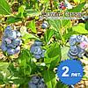Саженцы голубики Блюголд 2-летние в пакетах (3.5 л) h-40-70см. куст.,3-5 побегов