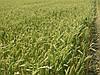 Семена пшеницы яровой Панянка, РР 2