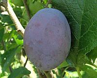 Плодовые деревья слива  Чачакская ранняя