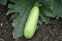 Семена кабачка Александрия F1, от 100 шт, Agri Saaten