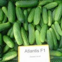 Семена огурца Атлантис F1 1 гр Професійне насіння