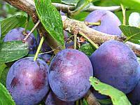 Плодовые деревья слива Сильвия