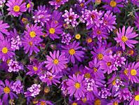 Семена ромашки фиолетовая 1 упаковка 10 семян