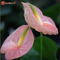 Семена антуриум розовый 1 лот 10 семян